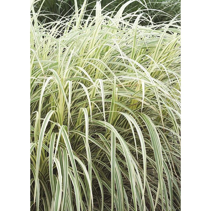 Monrovia 3.58 Gallon Dwarf Variegated Maiden Grass