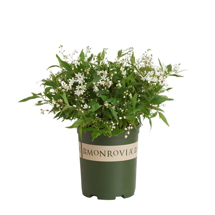 Monrovia 2.6-Quart White Dwarf Nikko Deutzia Flowering Shrub