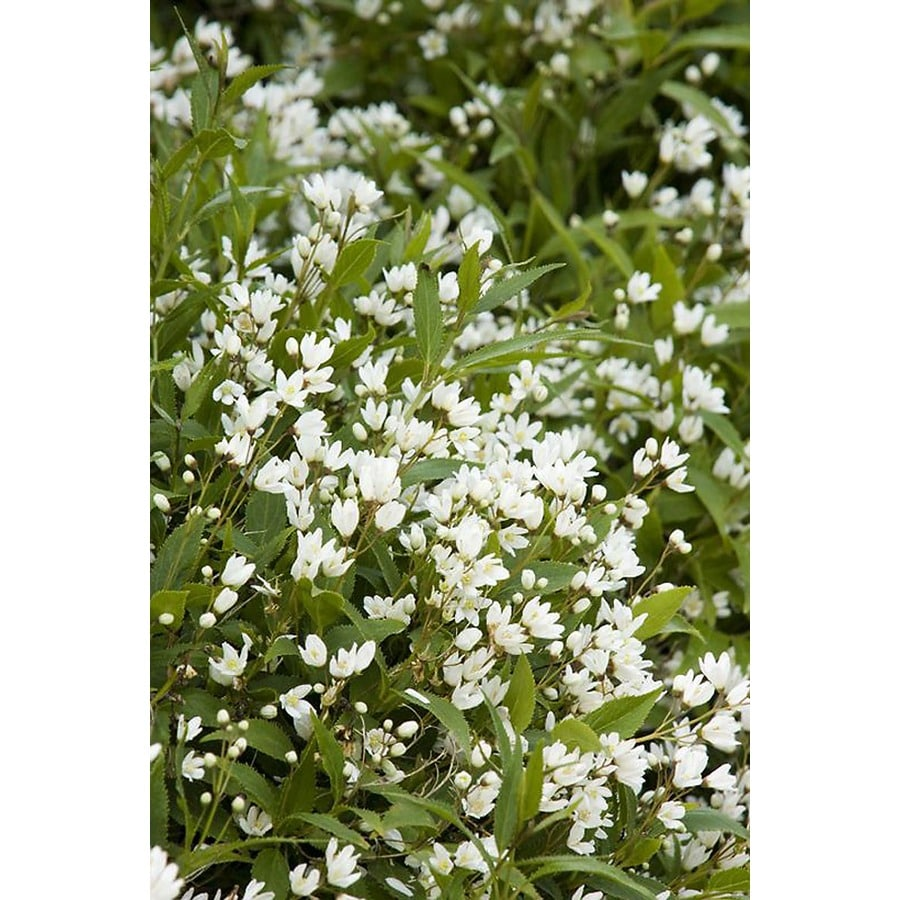 Monrovia 1.6-Gallon White Dwarf Nikko Deutzia Flowering Shrub