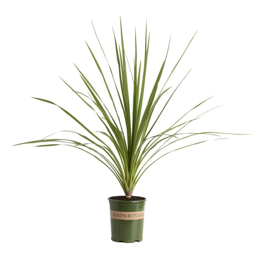 shop monrovia 2 6 quart white blue dracaena palm flowering shrub at. Black Bedroom Furniture Sets. Home Design Ideas