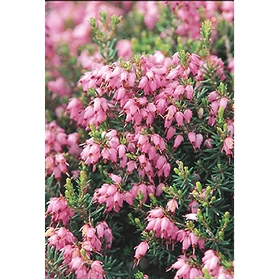 Monrovia 2.6-Quart Pink Mediterranean Pink Heath Flowering Shrub