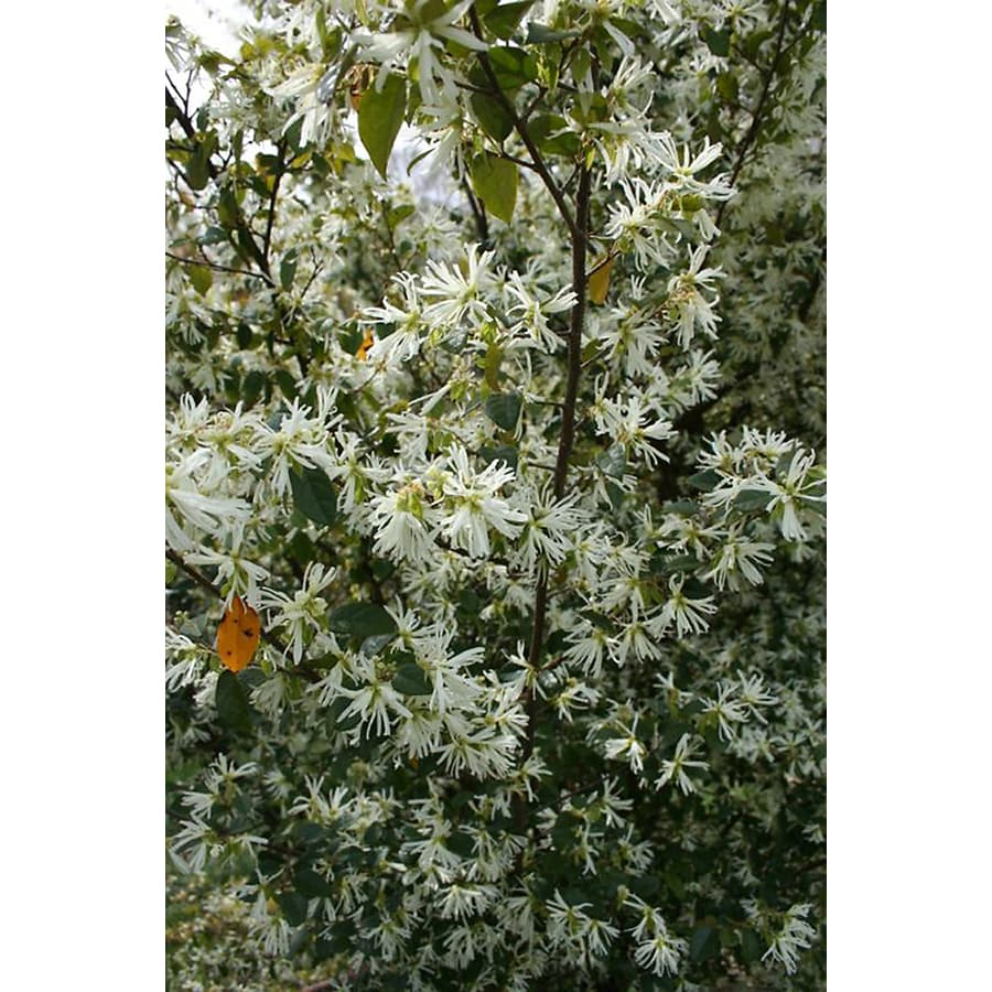 Monrovia 2.6-Quart White Snow Panda Fringe Flower Flowering Shrub