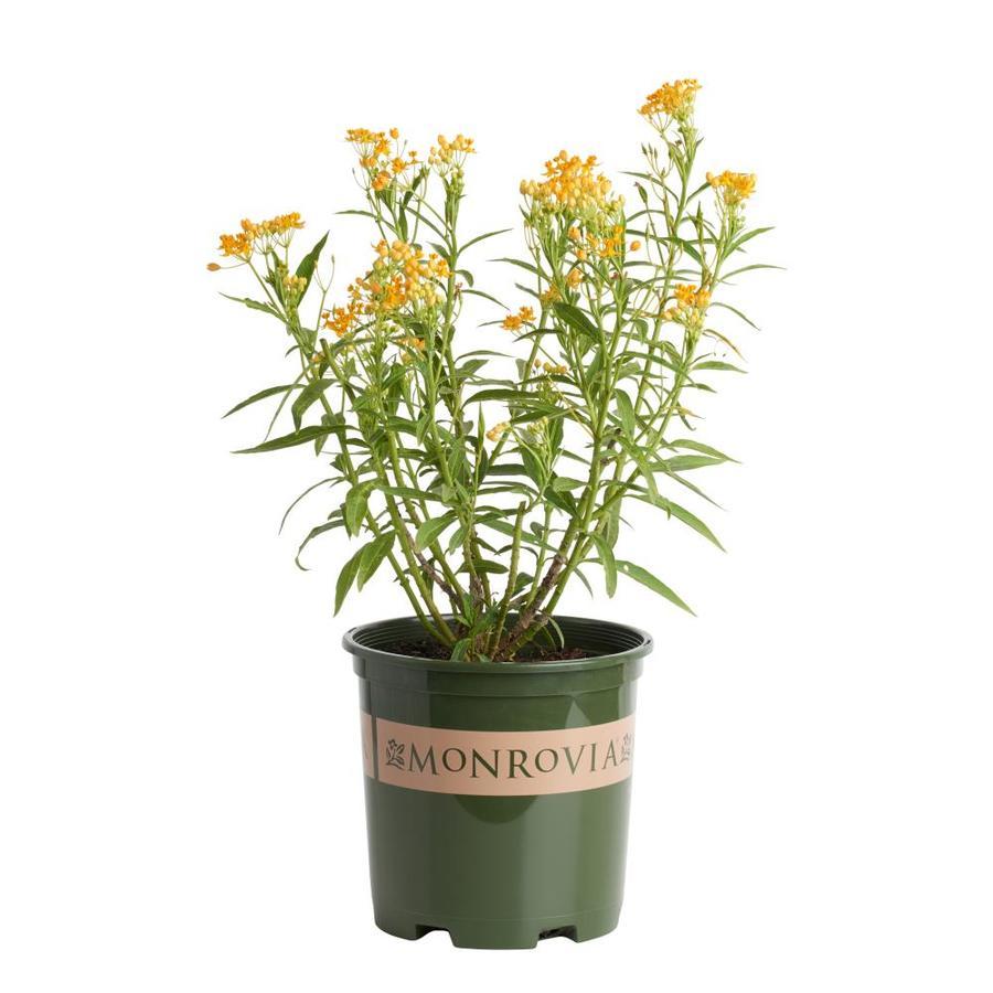 Monrovia 1-Gallon Silky Gold Asclepias