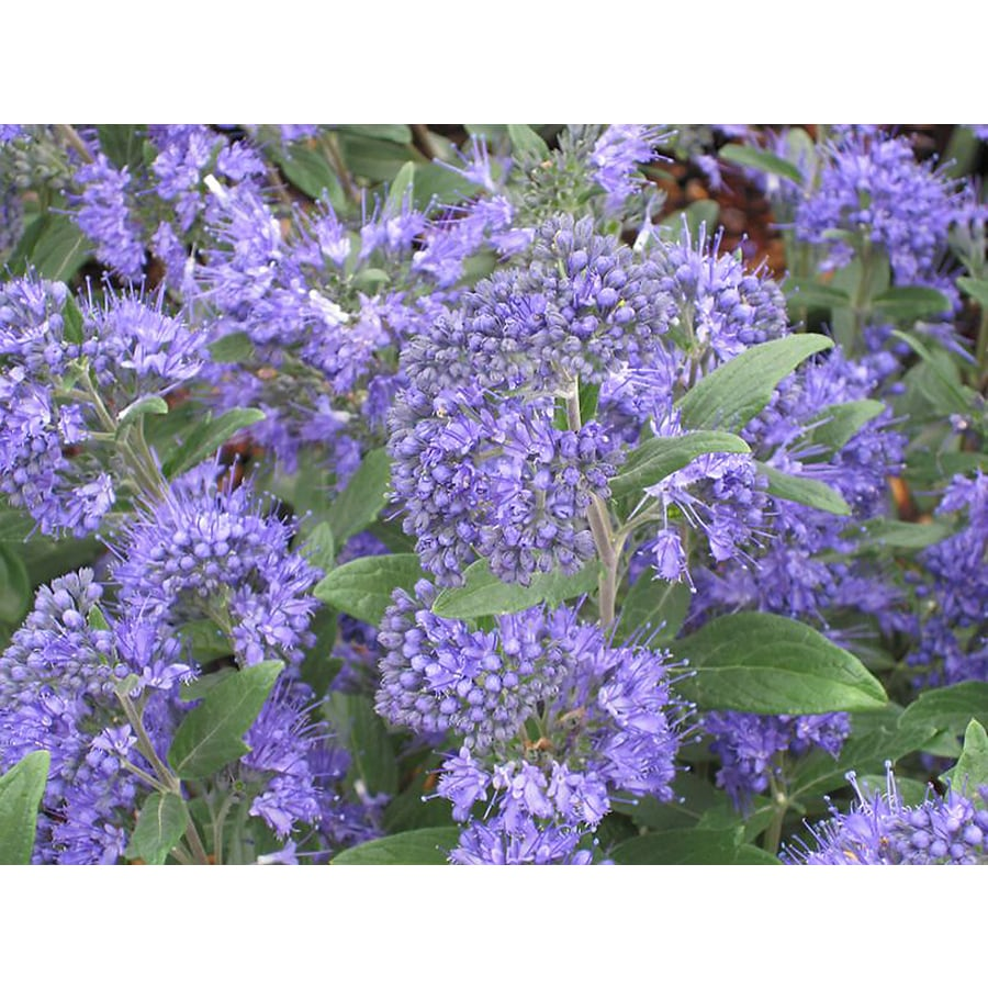 Monrovia 2.6-Quart Blue Blue Balloon Bluebeard Flowering Shrub