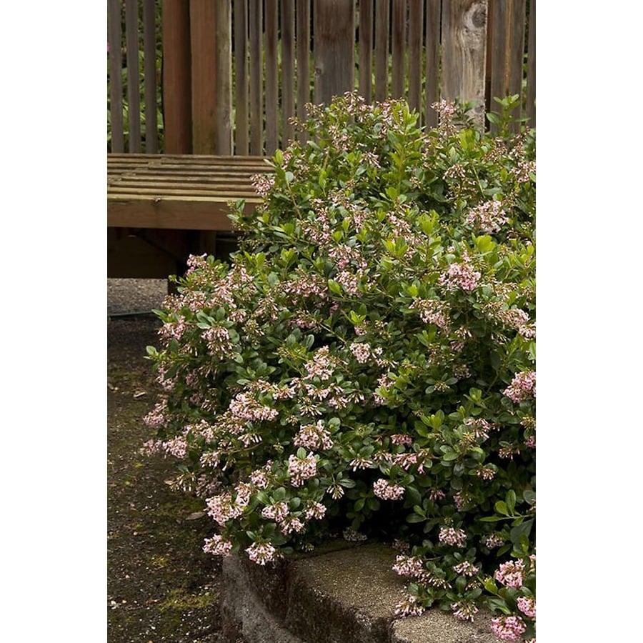 Monrovia 2.6-Quart Pink Pink Princess Escallonia Flowering Shrub