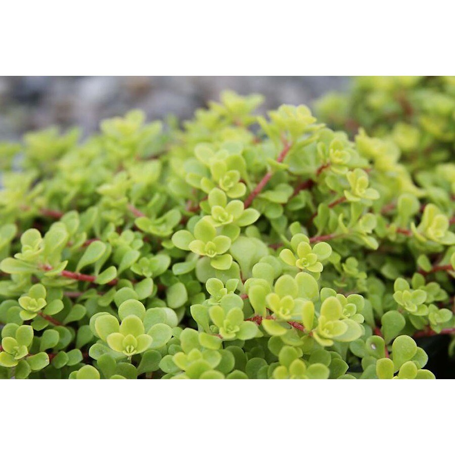 Monrovia 3-Quart Golden Japanese Stonecrop