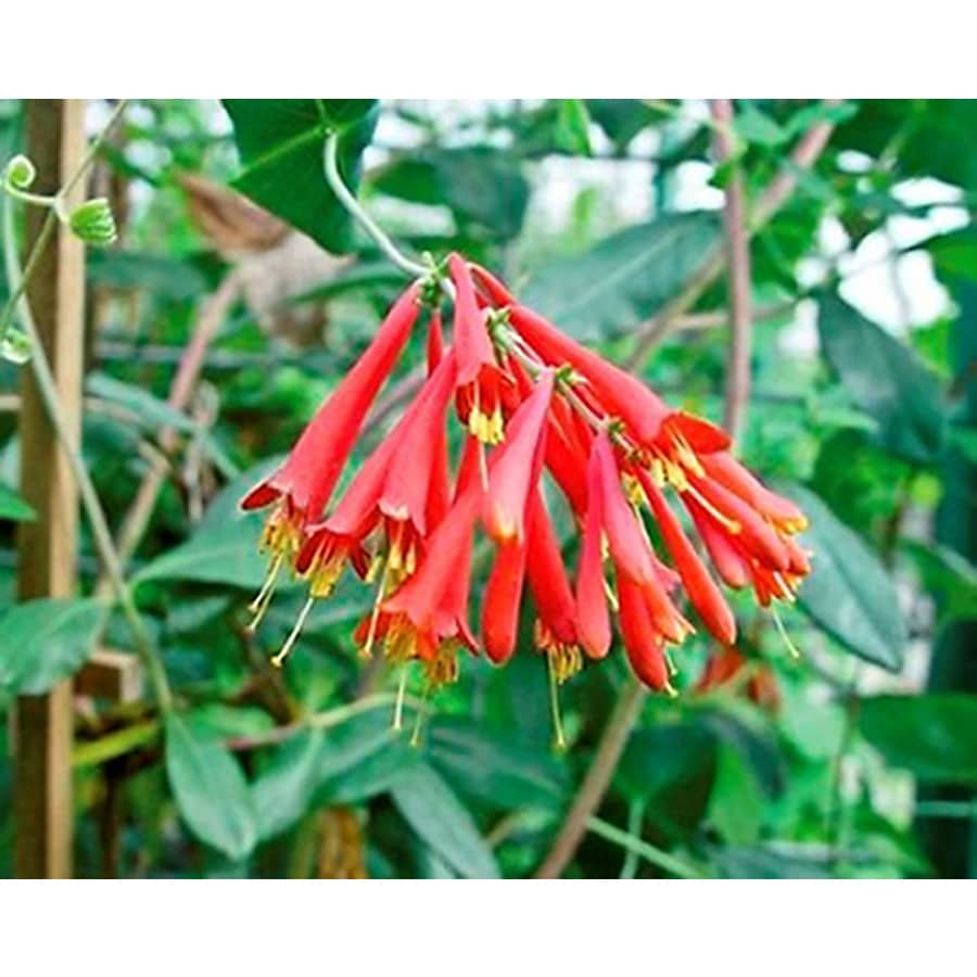 Monrovia 2.6 Quart- Coral Honeysuckle