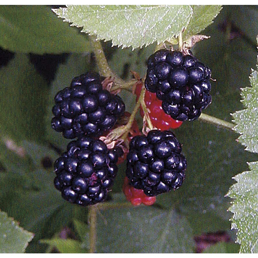 Monrovia 2.6-Quart White Prime Jim Blackberry Flowering Shrub