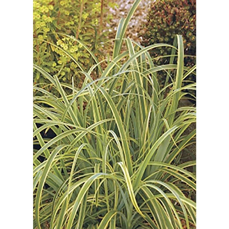 Monrovia 3-Quart Variegated Tataki Grass P20512