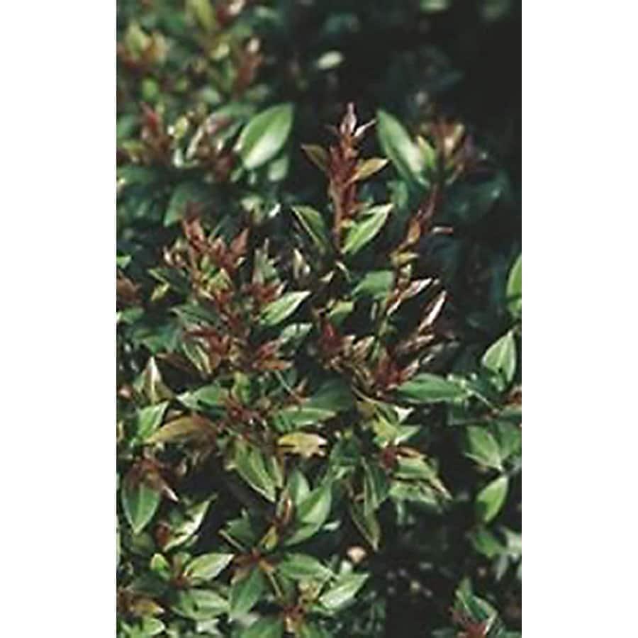 Monrovia 3.58-Gallon White Dwarf Brush Cherry Flowering Shrub