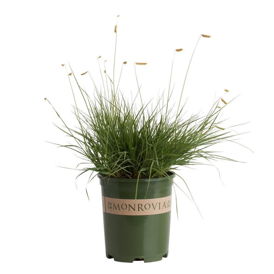 Monrovia 2.6-Quart Blonde Ambition Blue Grama Grass
