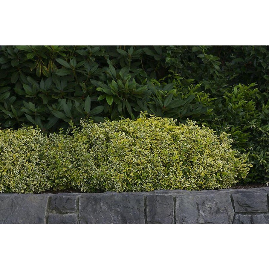 Monrovia 2.6-Quart Emerald and Gold Wintercreeper Feature Shrub