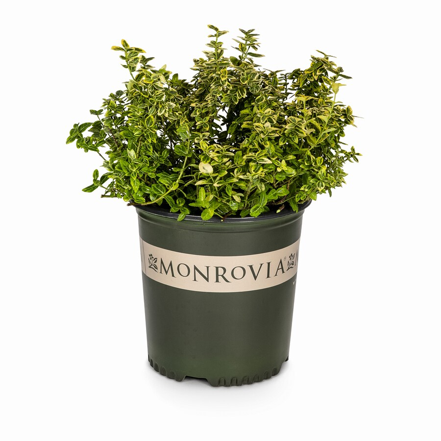 Monrovia 1.6-Gallon Emerald and Gold Wintercreeper Feature Shrub