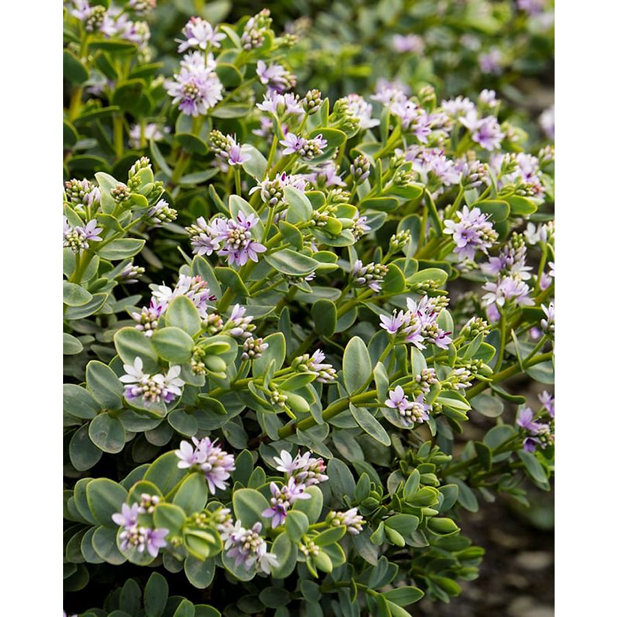 Monrovia 1.6-Gallon Purple Gibby Hebe Flowering Shrub