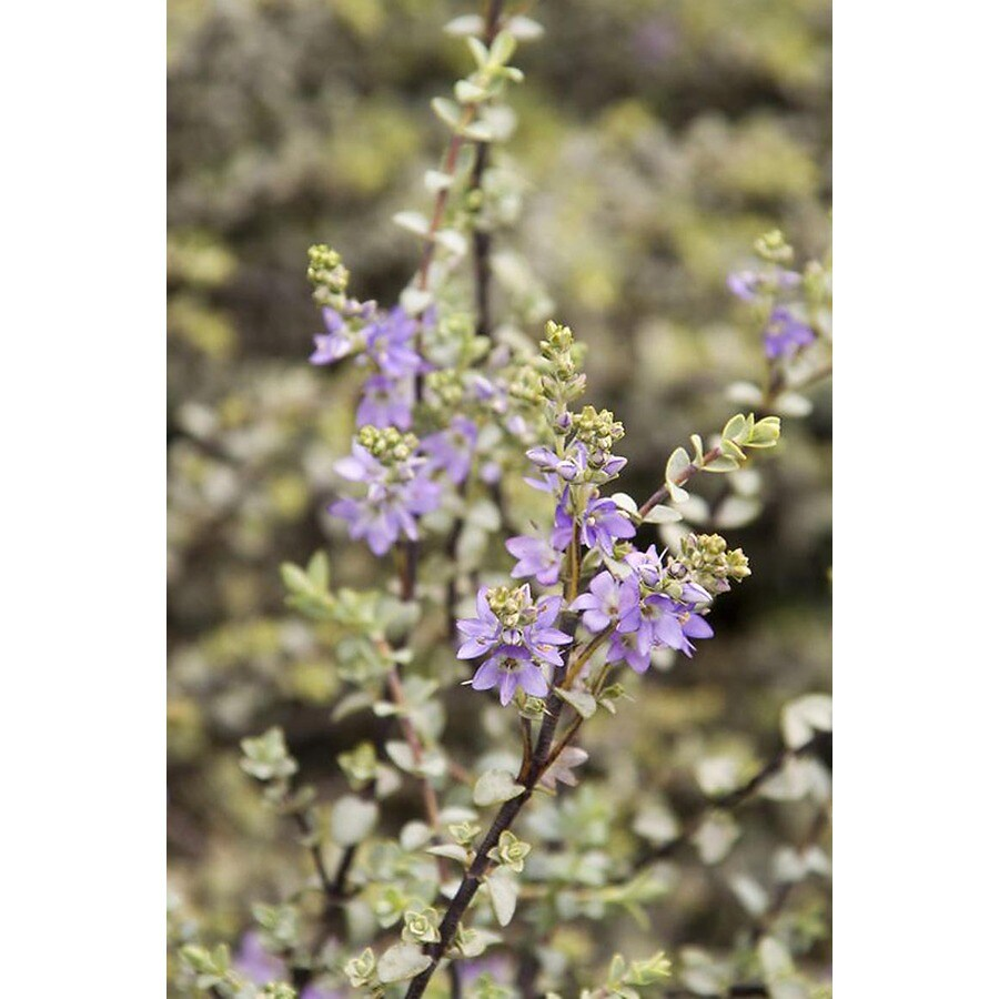 Monrovia 1.6-Gallon Purple Quicksilver Hebe Flowering Shrub