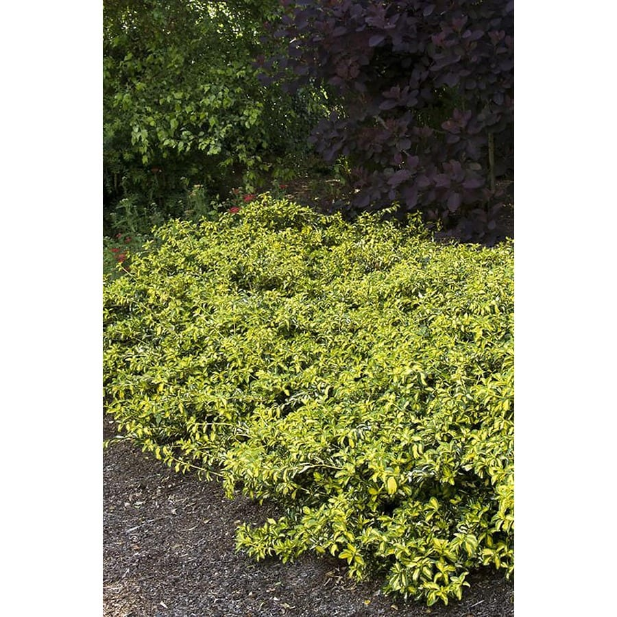 Monrovia 2.6-Quart Moonshadow Wintercreeper Feature Shrub