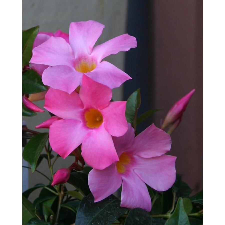 Monrovia 1.6 Gallon- Sun Parasol Pretty Pink Mandevilla