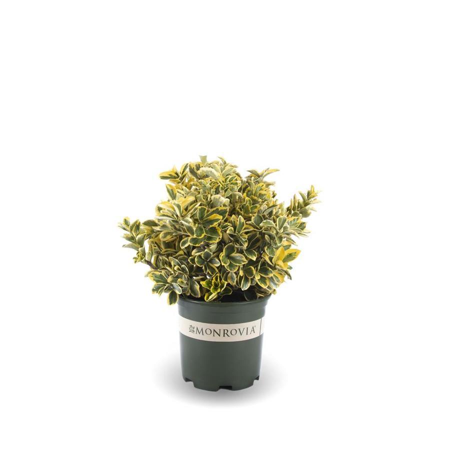 Monrovia 1.6-Gallon White Gold Spot Euonymus Flowering Shrub