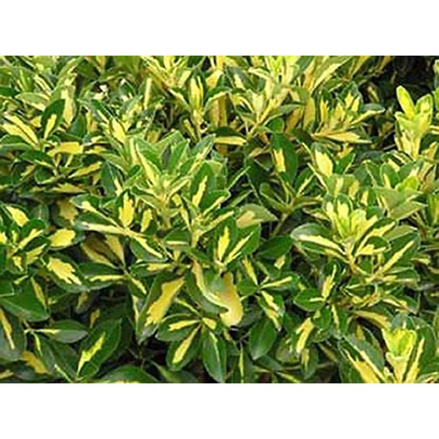 Monrovia 3.58-Gallon White Gold Spot Euonymus Flowering Shrub