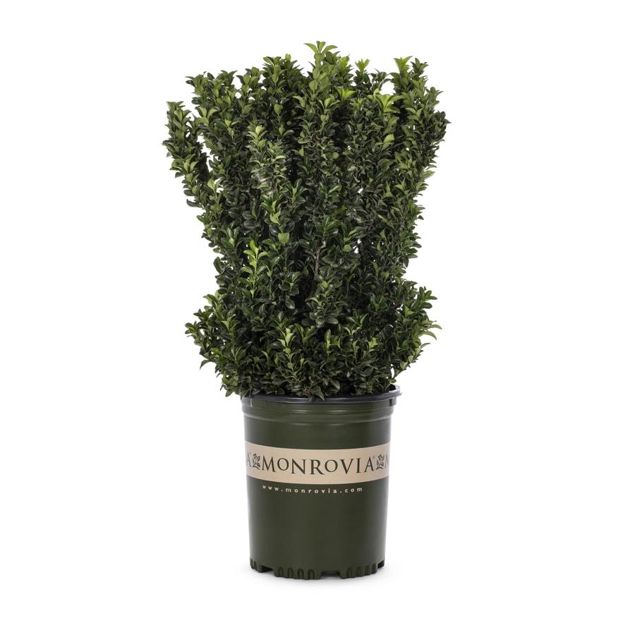 Monrovia 3.58-Gallon Green Spire Euonymus Feature Shrub