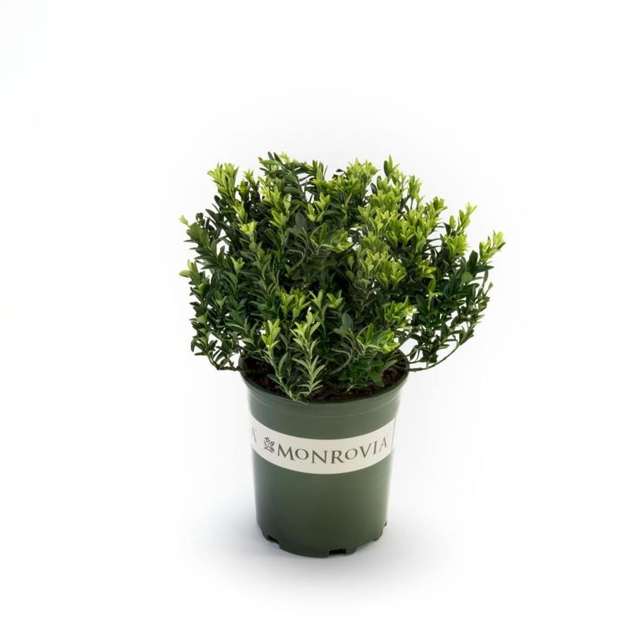 Monrovia 2.6-Quart Boxleaf Euonymus Feature Shrub