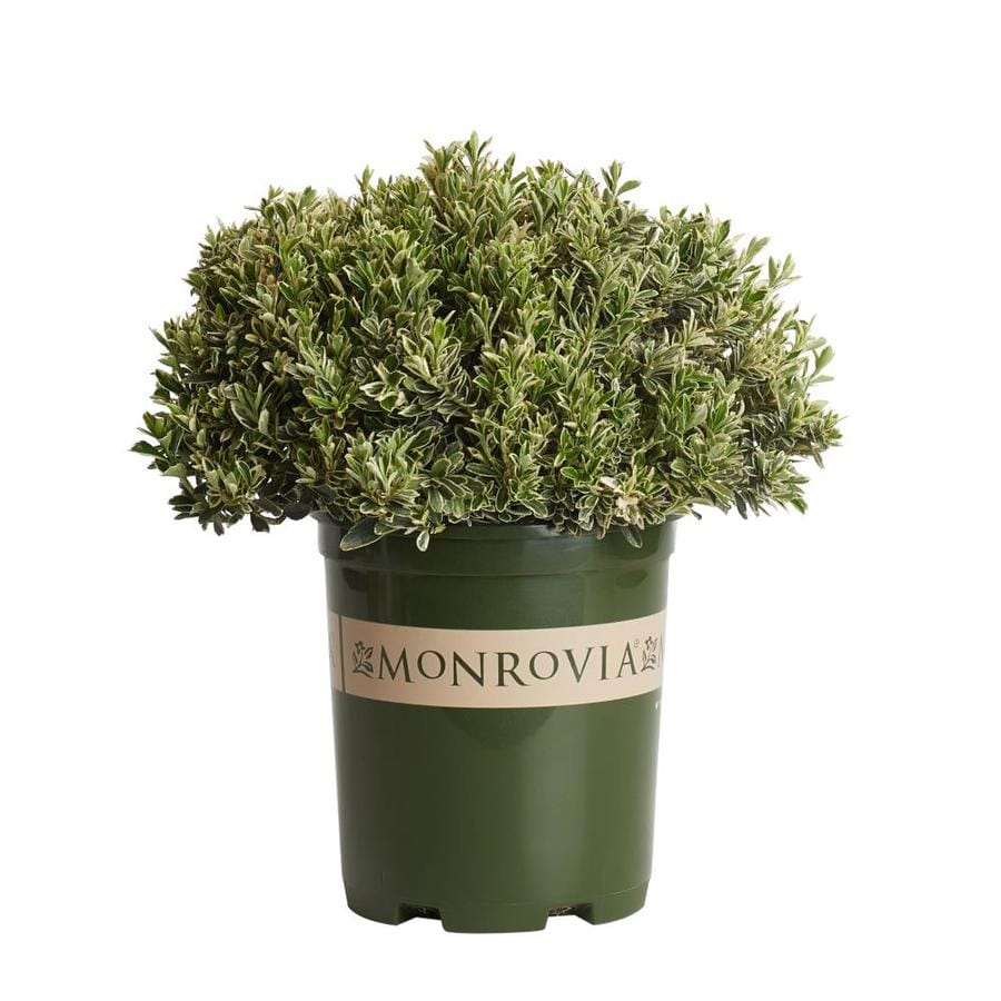 Monrovia 2.6-Quart Variegated Boxleaf Euonymus Feature Shrub