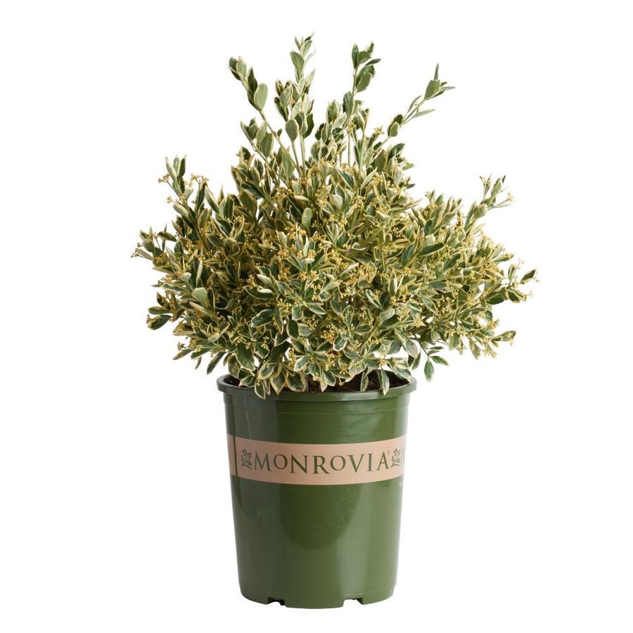 Monrovia 3.58-Gallon Silver King Euonymus Foundation/Hedge Shrub