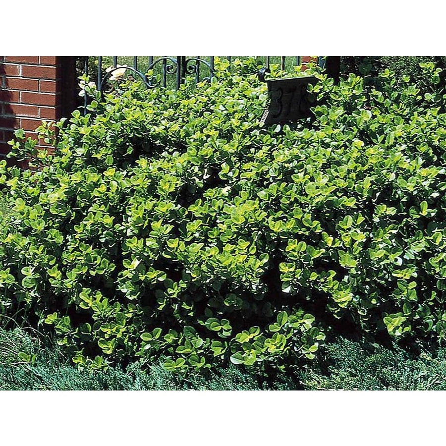 Monrovia 1.6-Gallon Manhattan Euonymus Foundation/Hedge Shrub