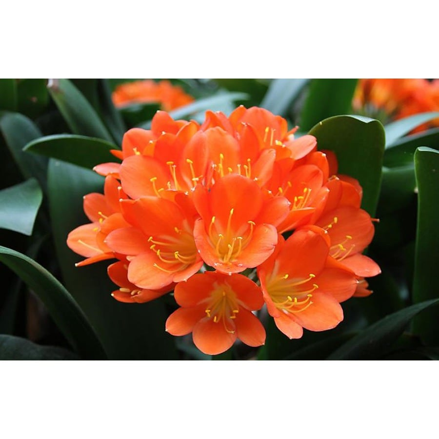 Monrovia 1.6-Gallon Flame Bush Lily