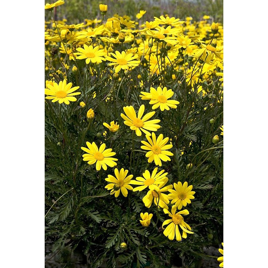 Monrovia 2.6-Quart Yellow Green Leaved Euryops Flowering Shrub