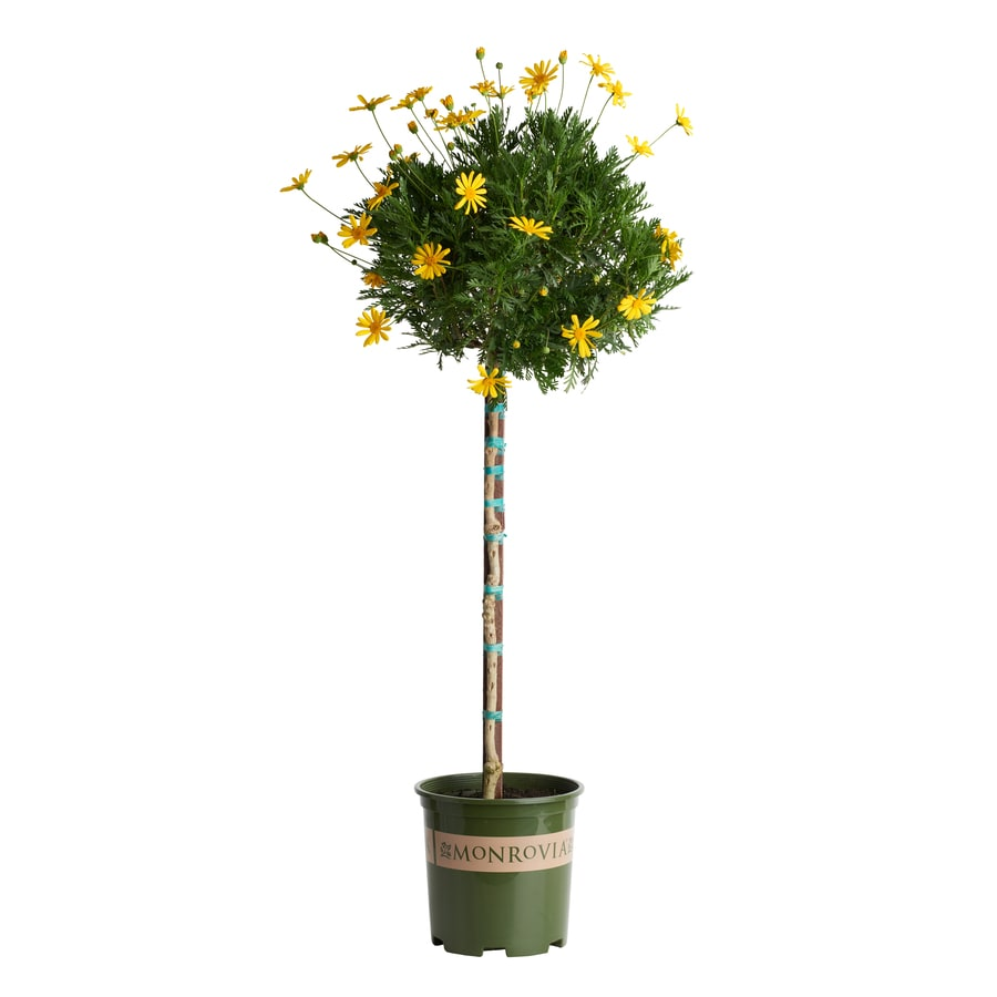 Monrovia 1.6-Gallon Golden Shrub Daisy (L7509)