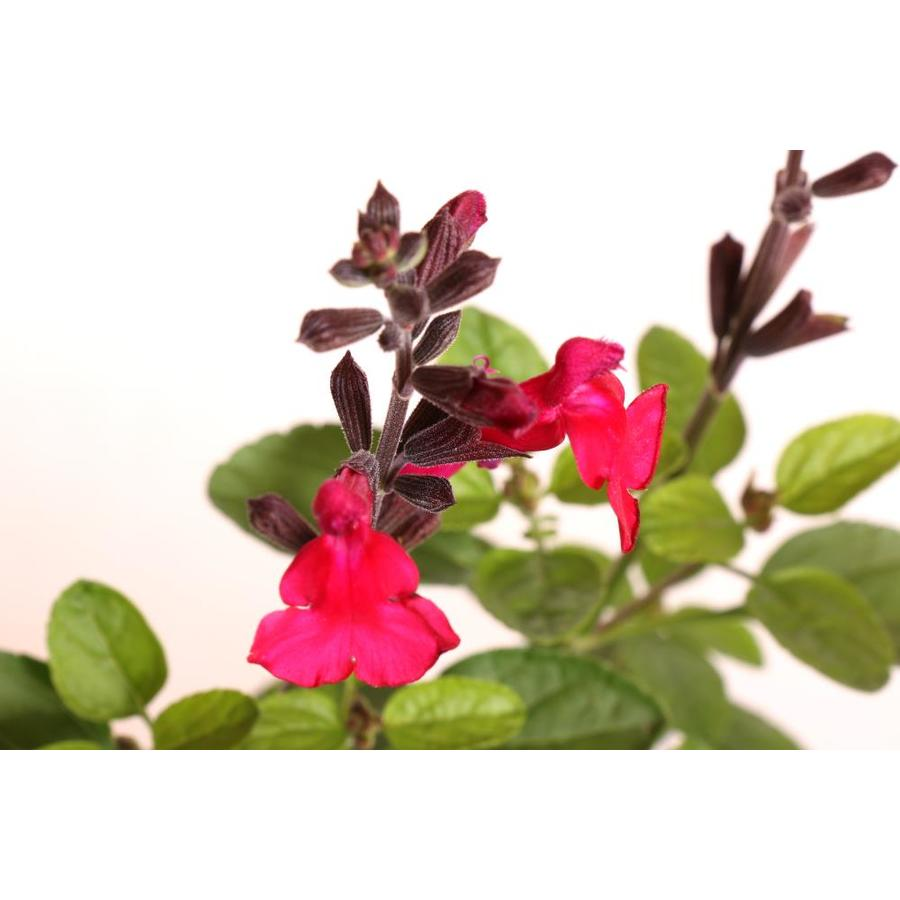 Monrovia 1-Gallon Heatwave Blaze Salvia