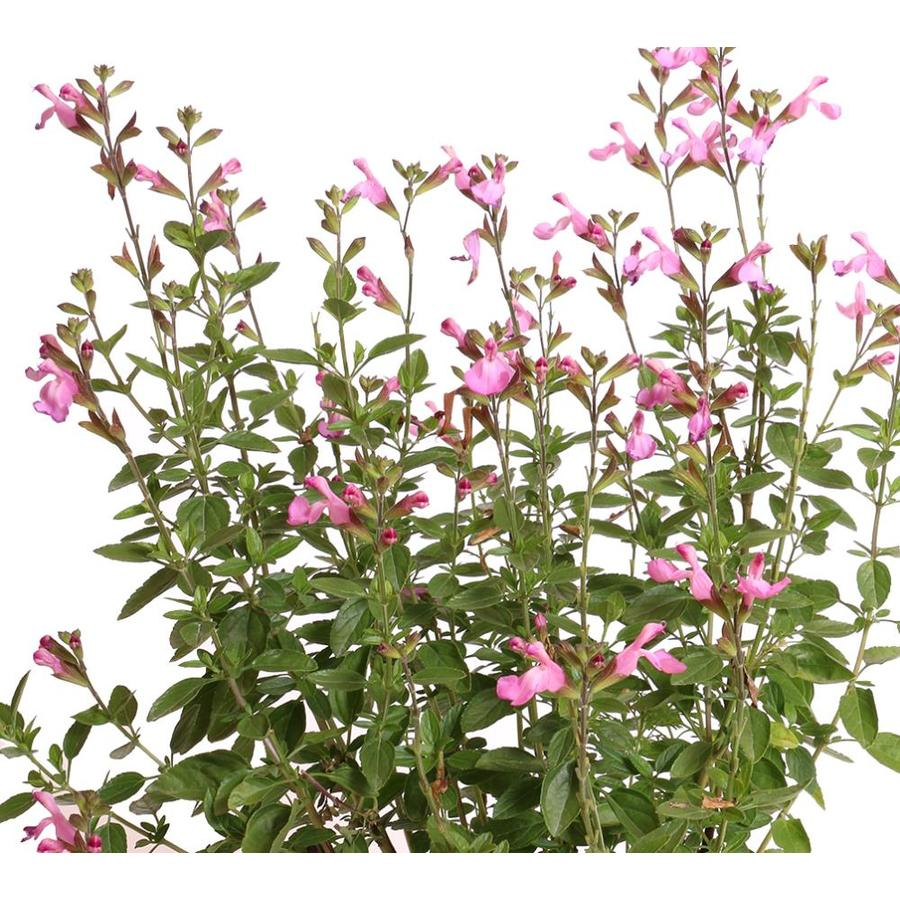 Monrovia 1.6-Gallon Salvia