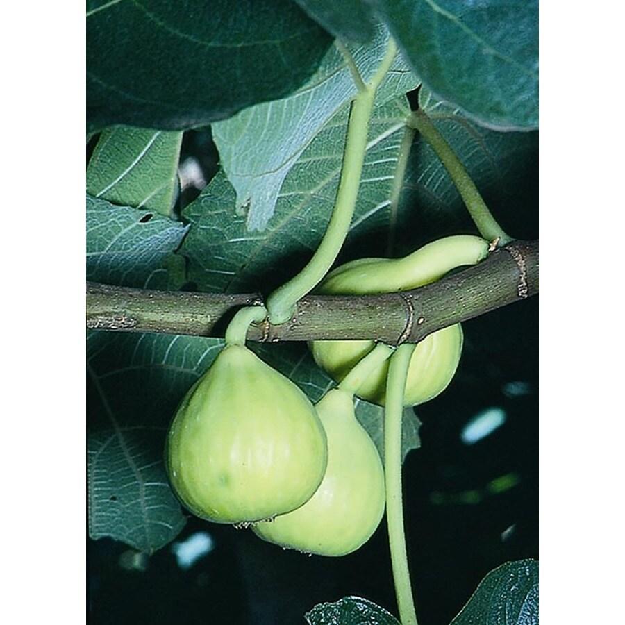 Monrovia Peter's Honey Fig