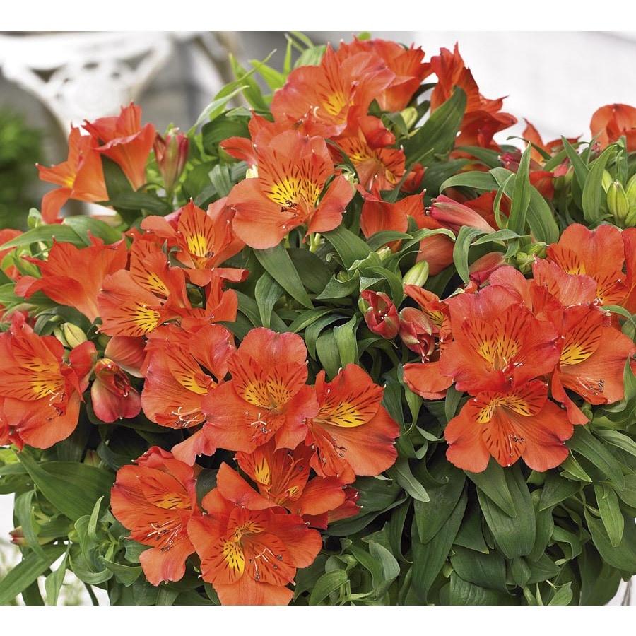 Monrovia 1.6-Gallon Amina Princess Lily (L23758)
