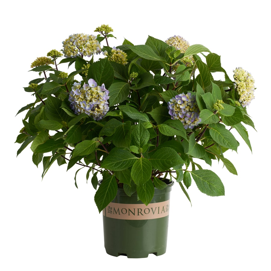 Monrovia 1.6-Gallon Blue Hydrangea 'Blue Enchantress' Flowering Shrub