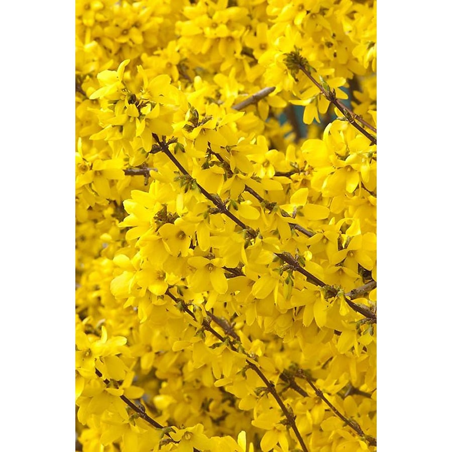 Monrovia 2.6-Quart Yellow Spring Glory Forsythia Flowering Shrub