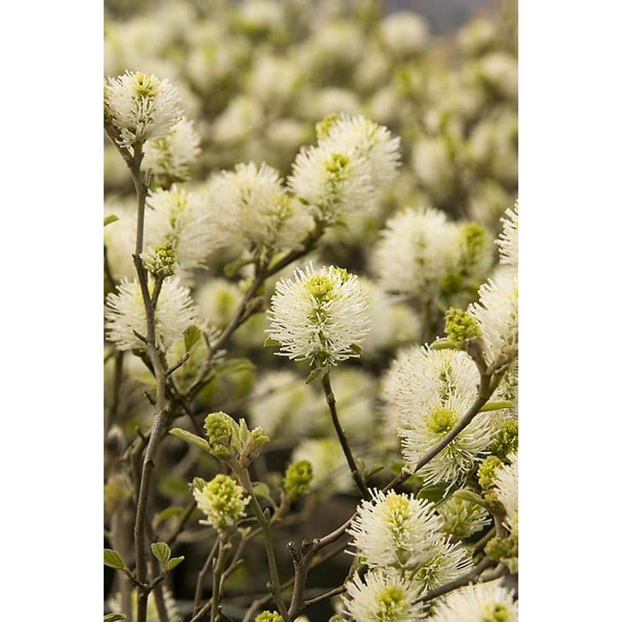 Monrovia 1.6-Gallon White Dwarf Fothergilla Flowering Shrub