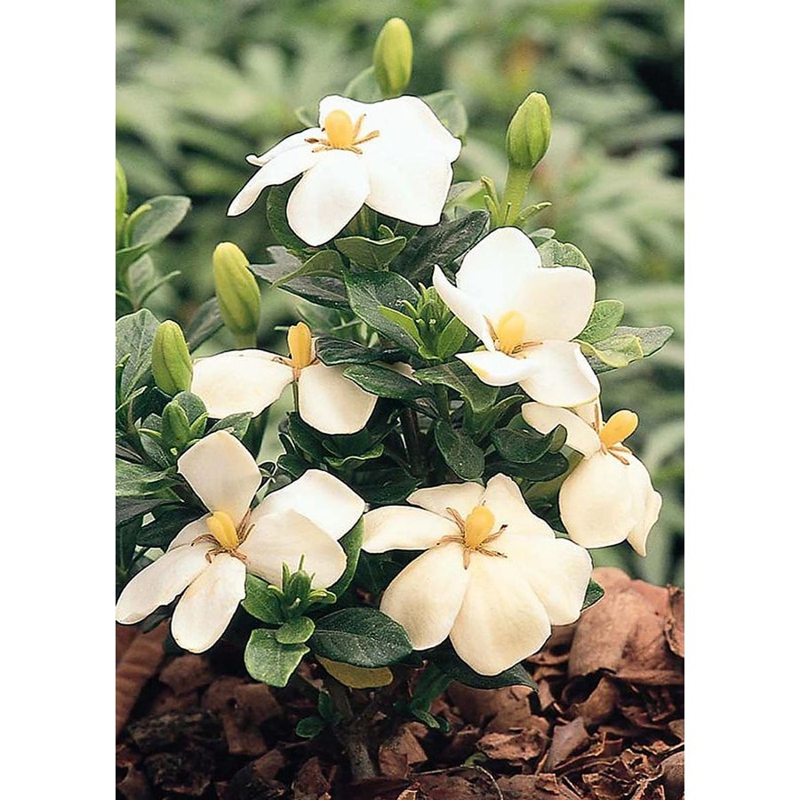 Monrovia 2.6-Quart White Kleim's Hardy Gardenia Flowering Shrub