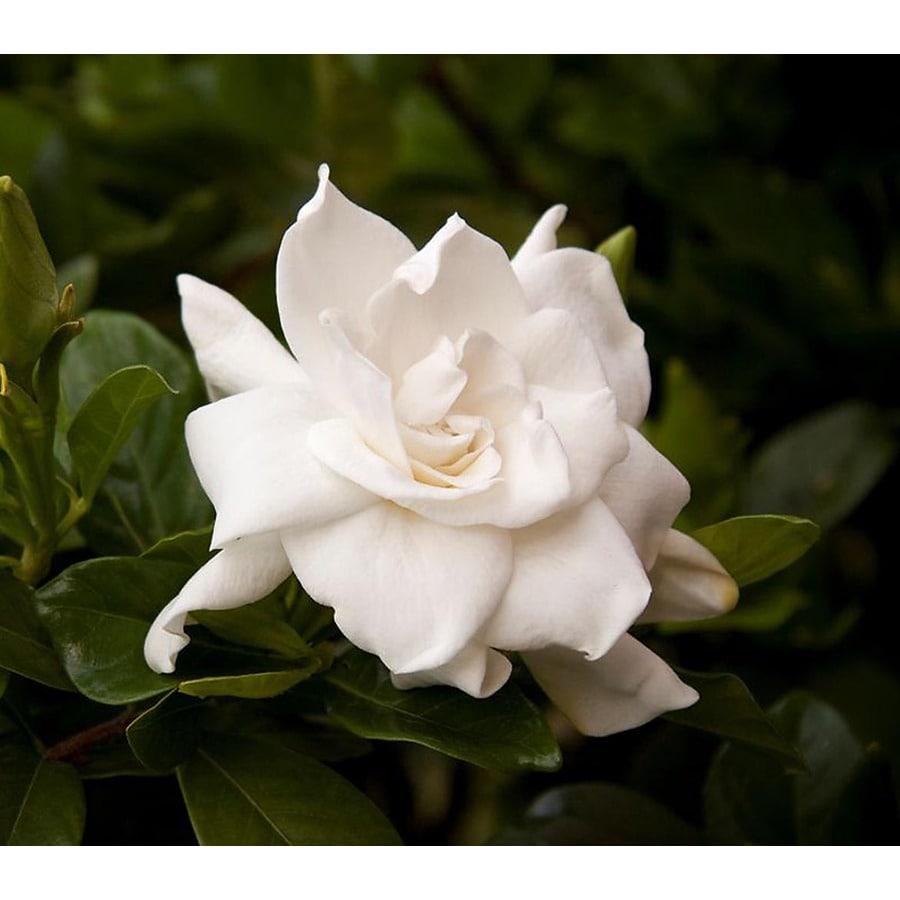 Monrovia 2.8-Gallon White August Beauty Gardenia Flowering Shrub