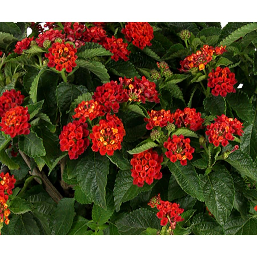 Monrovia 1 Gallon Potted American Red Lantana