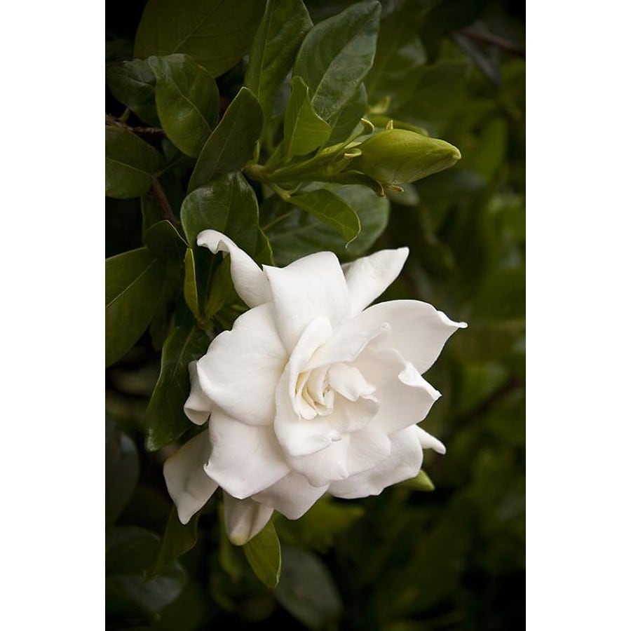 Monrovia White Everblooming Gardenia Flowering Shrub In Pot (With Soil)