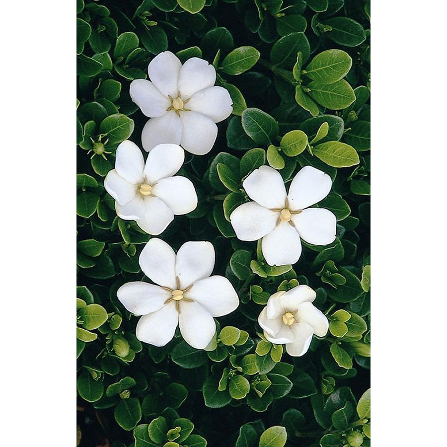 Monrovia 1.6-Gallon White White Gem Gardenia Flowering Shrub