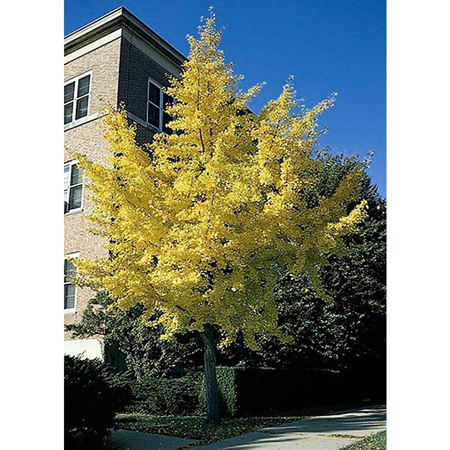 Monrovia 3.58-Gallon Autumn Gold Maidenhair Tree Shade Tree