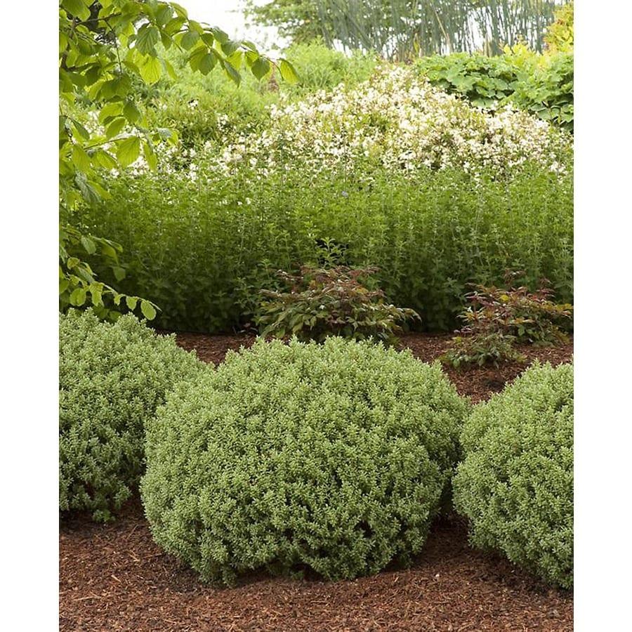 Monrovia 2.6-Quart White Sutherland Hebe Flowering Shrub