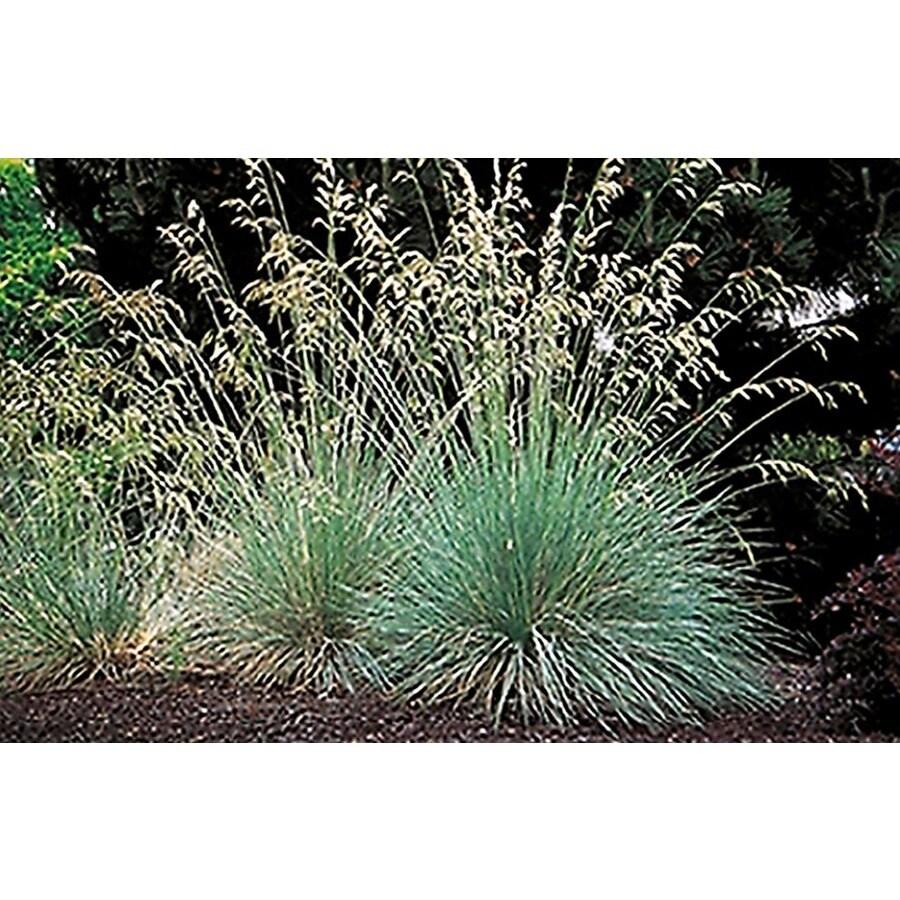 Monrovia 2.6-Quart Blue Oat Grass