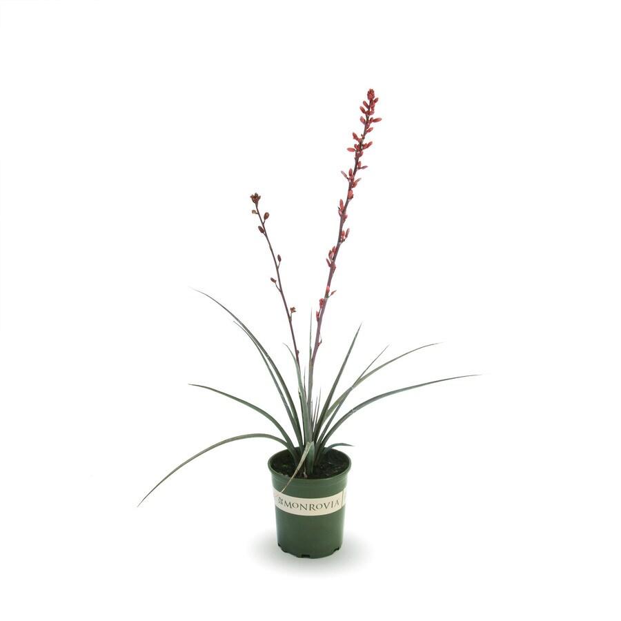Monrovia 3-Quart Red Yucca