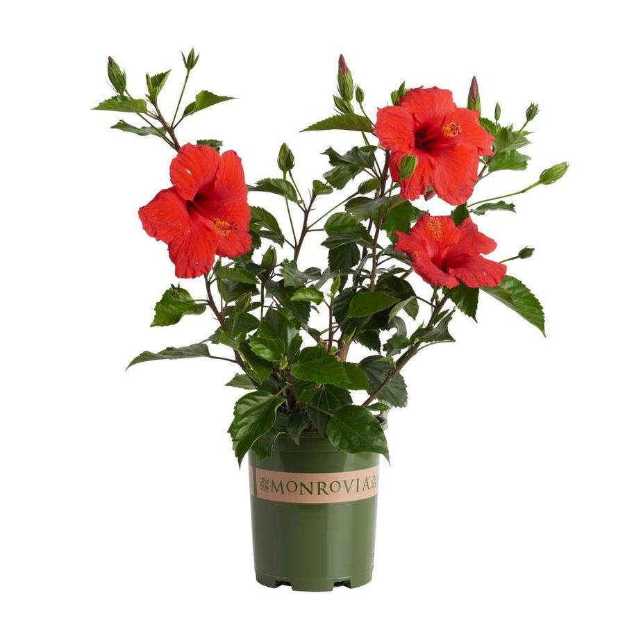 Monrovia 2.6-Quart Red Brilliant Hibiscus Flowering Shrub