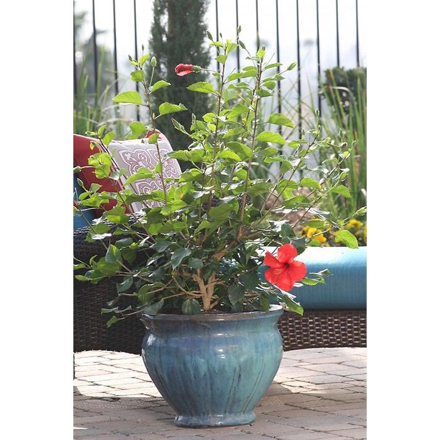 Monrovia 3.58-Gallon Red Brilliant Hibiscus Flowering Shrub