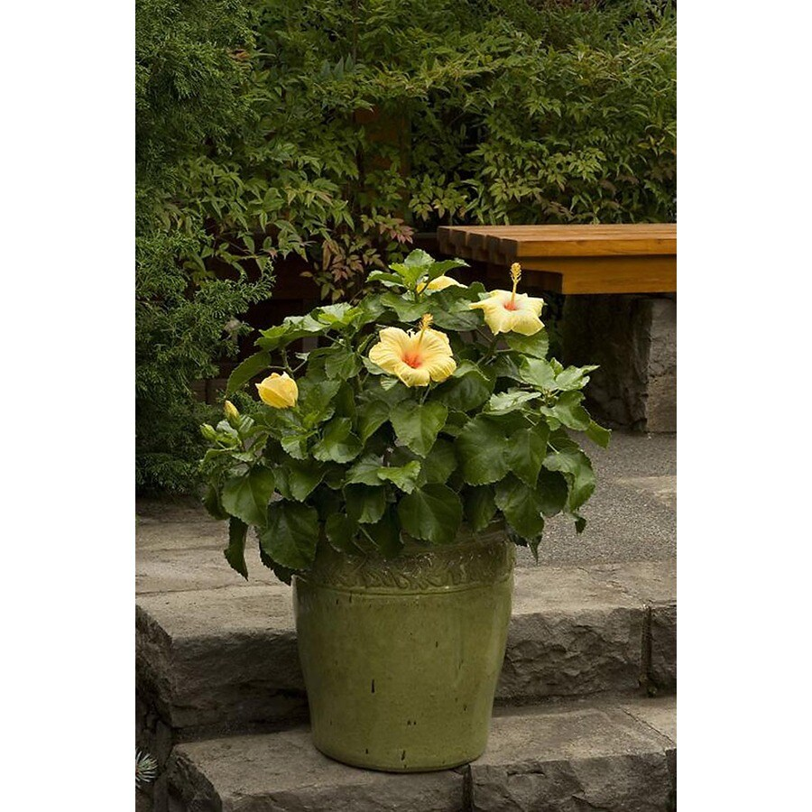 Monrovia 3.58-Gallon Yellow Hula Girl Hibiscus Flowering Shrub